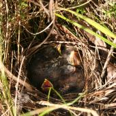 Fernbird. Chicks in nest. Horopito, Central Plateau, March 2012. Image © Andy Maloney by Andy Maloney