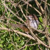 Fernbird. Adult Stewart Island fernbird. Kundy Island, Stewart Island, March 2011. Image © Colin Miskelly by Colin Miskelly