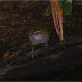 Fernbird. Adult Stewart Island fernbird. Kundy Island, Stewart Island, March 2011. Image © Colin Miskelly by Colin Miskelly