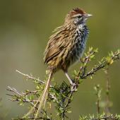 Fernbird. Adult male North Island fernbird/matata in saltmarsh ribbonwood bush. Harbourview reserve, Te Atatu Peninsula. Image © Jeremy Painting by Jeremy Painting