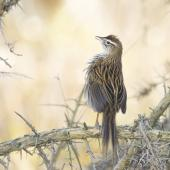 Fernbird. Adult male South Island fernbird displaying. Lake Waipori, May 2020. Image © Oscar Thomas by Oscar Thomas @Oscarkokako