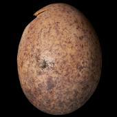 Fernbird. North Island fernbird egg 18.5 x 13.7 mm (NMNZ OR.007643). Rangitoto Ranges, Waitomo County, February 1925. Image © Te Papa by Jean-Claude Stahl