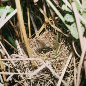 Fernbird. Adult North Island fernbird on nest. , November 1988. Image © Department of Conservation (image ref: 10030414) by Falkert Nieuwland, Department of Conservation Courtesy of Department of Conservation