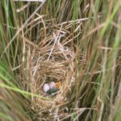 Fernbird. North Island fernbird nest with 2 eggs and a chick. Te Werahi swamp, Te Paki, Far North, October 1994. Image © Department of Conservation (image ref: 10041226) by Greg Sherley, Department of Conservation Courtesy of Department of Conservation
