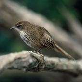 Fernbird. Adult Snares Island fernbird. Snares Islands, November 1983. Image © Department of Conservation (image ref: 10034146) by Rod Morris, Department of Conservation Courtesy of Department of Conservation