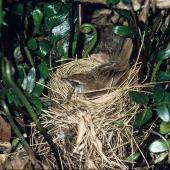 Fernbird. Adult Snares Island fernbird on nest. Snares Islands, November 1983. Image © Department of Conservation (image ref: 10047933) by Rod Morris, Department of Conservation Courtesy of Department of Conservation