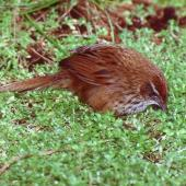 Fernbird. Adult Snares Island fernbird foraging on ground. Snares Islands, November 1987. Image © Colin Miskelly by Colin Miskelly