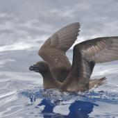 Tahiti petrel. Adult on water. Southport pelagic, Gold Coast, Queensland, 30 km offshore, March 2019. Image © William Betts 2019 birdlifephotography.org.au by William Betts