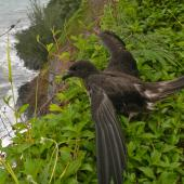 Tahiti petrel. Adult about to fly from clifftop. Tahiti, July 2011. Image © Lucie Faulquier by Lucie Faulquier