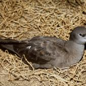 Wedge-tailed shearwater. Adult on surface at night. Curtis Island, November 1989. Image © Graeme Taylor by Graeme Taylor