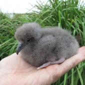 Wedge-tailed shearwater. Young nestling. Montague Island, January 2016. Image © Dean Portelli by Dean Portelli
