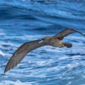 Wedge-tailed shearwater. Adult in flight. At sea off Kiama NSW Australia, April 2019. Image © Lindsay Hansch by Lindsay Hansch www.lindsayhanschphotography.com