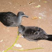 Wedge-tailed shearwater. Adults at colony. Norfolk Island, December 2008. Image © Joke Baars by Joke Baars
