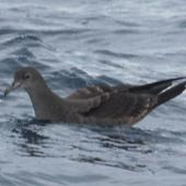 Wedge-tailed shearwater. Adult on water. At sea off Whangaroa, Northland, January 2012. Image © Detlef Davies by Detlef Davies