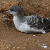 Wedge-tailed shearwater. Adult pale morph adult 'chlororhynchus' subspecies at burrow entrance. Hawai`i - Island of Kaua`i. Image © Jim Denny by Jim Denny http://www.kauaibirds.comhttp://www.flickr.com/photos/hawaiibirds/