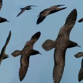 Wedge-tailed shearwater. Composite image of dorsal views in flight. Off Norfolk Island, April 2012. Image © Philip Griffin by Philip Griffin