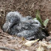 Wedge-tailed shearwater. Chick in burrow. Norfolk Island, March 2011. Image © Duncan Watson by Duncan Watson