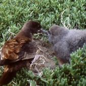 Wedge-tailed shearwater. Adult feeding large chick at burrow entrance in daylight. Curtis Island, Kermadec Islands, May 1982. Image © Colin Miskelly by Colin Miskelly