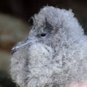 Wedge-tailed shearwater. Chick. Curtis Island, Kermadec Islands, May 1982. Image © Colin Miskelly by Colin Miskelly