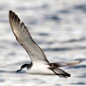 Buller's shearwater. Adult in flight. Poor Knights Islands, March 2014. Image © Malcolm  Pullman  by Malcolm Pullman aqaualine@igrin.co.nz