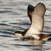 Buller's shearwater. Adult landing on water . Poor Knights Islands, March 2014. Image © Malcolm Pullman by Malcolm Pullman aqualine@igrin.co.nz