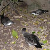 Buller's shearwater. Adults at colony. Aorangi Island, Poor Knights Islands, December 2011. Image © Alan Tennyson by Alan Tennyson