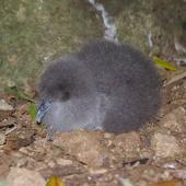 Buller's shearwater. Recently hatched chick. Aorangi Island, Poor Knights Islands, January 2013. Image © Colin Miskelly by Colin Miskelly