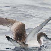Buller's shearwater. Adult on water with raised wings. At sea off Whangaroa, March 2012. Image © Philip Griffin by Philip Griffin