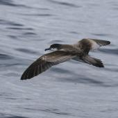 Buller's shearwater. Adult in flight showing tail. At sea off Whangaroa Harbour, Northland, January 2011. Image © Jenny Atkins by Jenny Atkins www.jennifer-m-pics.ifp3.com