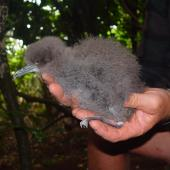 Buller's shearwater. Chick in hand. Aorangi Island, March 2011. Image © Graeme Taylor by Graeme Taylor