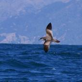 Buller's shearwater. Side dorsal view of adult in flight. Kaikoura pelagic, January 2013. Image © Colin Miskelly by Colin Miskelly