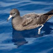 Flesh-footed shearwater. Adult on the water. Three Kings pelagic, March 2015. Image © Les Feasey by Les Feasey