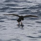 Flesh-footed shearwater. Adult landing on water showing webbing. At sea off Whangaroa Harbour, Northland, January 2011. Image © Jenny Atkins by Jenny Atkins www.jennifer-m-pics.ifp3.com