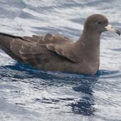Flesh-footed shearwater. Adult on water. At sea off Whangaroa, March 2012. Image © Philip Griffin by Philip Griffin