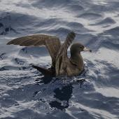 Flesh-footed shearwater. Adult on water with wings raised. At sea off Whangaroa Harbour, Northland, January 2011. Image © Jenny Atkins by Jenny Atkins www.jennifer-m-pics.ifp3.com