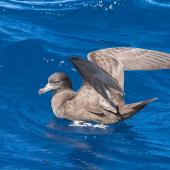 Flesh-footed shearwater. Adult on water. At sea off Kiama NSW Australia, April 2019. Image © Lindsay Hansch by Lindsay Hansch www.lindsayhanschphotography.com