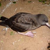 Flesh-footed shearwater. Adult on ground showing bill and foot colouring. Middle Island, November 2003. Image © Graeme Taylor by Graeme Taylor