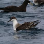 Great shearwater. Adult (white-chinned petrel in background). Off Cape of Good Hope, South Africa, October 2015. Image © Geoff de Lisle by Geoff de Lisle