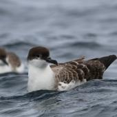 Great shearwater. Two adults on water. Off Cape of Good Hope, South Africa, October 2015. Image © Geoff de Lisle by Geoff de Lisle