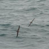 Great shearwater. Dorsal view in flight with Atlantic petrel. South Atlantic Ocean (43 degrees south 58 degrees west), December 2008. Image © Alan Tennyson by Alan Tennyson
