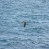 Great shearwater. In flight. South Atlantic Ocean (43 degrees south 58 degrees west), December 2008. Image © Alan Tennyson by Alan Tennyson