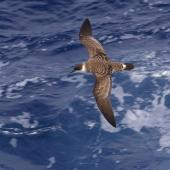 Great shearwater. Adult in flight. Near Tristan da Cunha, February 2009. Image © Colin Miskelly by Colin Miskelly