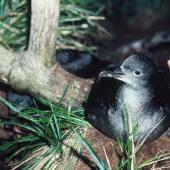 Sooty shearwater. Adult at breeding colony. Snares Islands, February 1985. Image © Colin Miskelly by Colin Miskelly