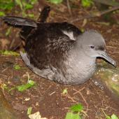 Sooty shearwater. Adult on ground at night with folded wings. Rangatira Island, Chatham Islands, February 2004. Image © Graeme Taylor by Graeme Taylor