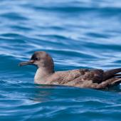 Sooty shearwater. Adult on the sea. Kaikoura pelagic, November 2011. Image © Sonja Ross by Sonja Ross