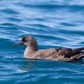 Sooty shearwater. Adult on the sea. Kaikoura pelagic, November 2011. Image © Sonja Ross by Sonja Ross