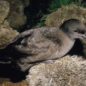 Sooty shearwater. Adult on ground with folded wings. North Promontory, Snares Islands, December 1986. Image © Alan Tennyson by Alan Tennyson Alan Tennyson
