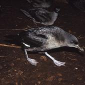 Sooty shearwater. Adults walking from colony to dawn take-off site. North Promontory, Snares Islands, February 1986. Image © Alan Tennyson by Alan Tennyson