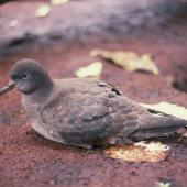 Sooty shearwater. Adult on ground during day. Snares Islands, January 1986. Image © Alan Tennyson by Alan Tennyson
