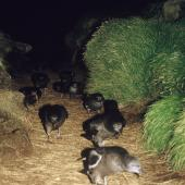 Sooty shearwater. Adults walking from colony to take off site at dawn. Above Sinkhole Gut, Snares Islands, December 1986. Image © Alan Tennyson by Alan Tennyson Alan Tennyson